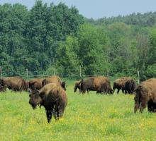 Bisons Européens au Parc National de Bialowieza