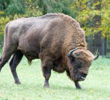 Bison Européen